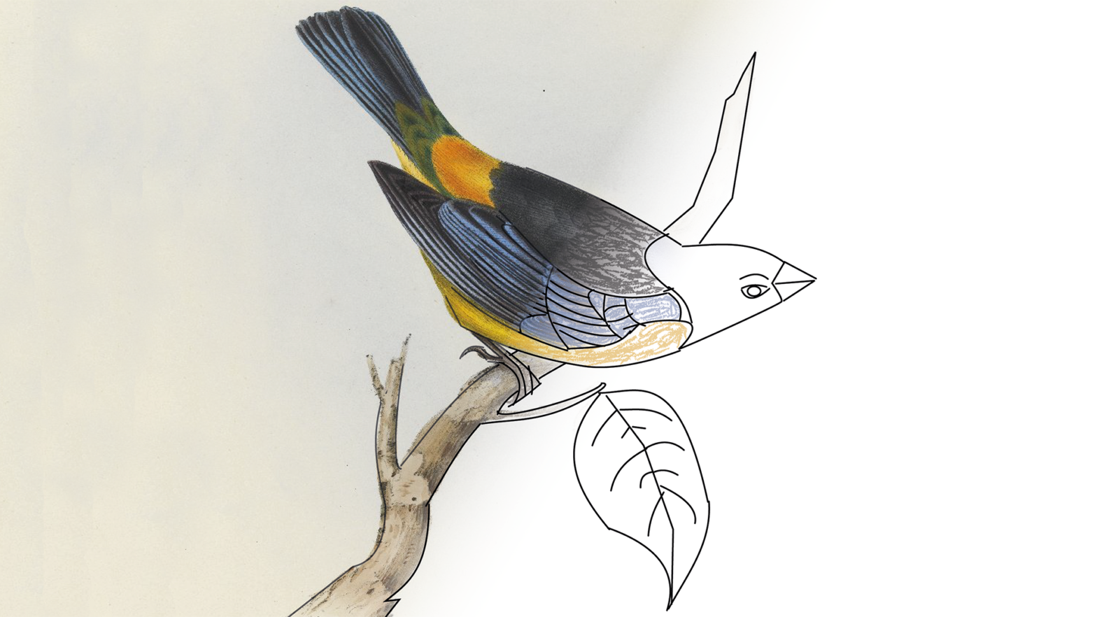 Illustration of a birds on a branch being coloured in with pencils.